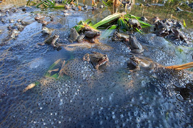 Amphibiens christophe salin photographe nature et for Lien dans une nouvelle fenetre