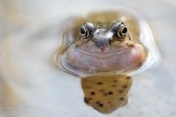 Grenouille rousse : Amphibiens, Grenouille rousse, Mare, Etang