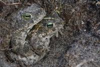 Crapaud calamite : Amphibiens, Crapaud calamite, Mare, Etang