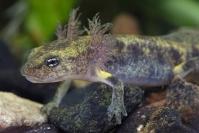 Salamandre Tachetée : Amphibiens, Salamandre Tâchetée, Mare