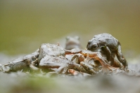 Grenouille rousse, Rana temporaria : Grenouille rousse, Rana temporaria