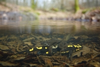 Grenouille rousse, Rana temporaria, Salamandre tachetée, Salamandra salamandra : Grenouille rousse, Rana temporaria, Salamandre Tâchetée, Salamandra salamandra