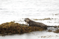 Loutre d'Europe : Loutre d'Europe