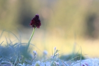 Nigritelle noire : Flore, Orchidéee, Nigritelle noire, Orchis vanille, Nigritella nigra, Prairie alpine