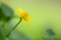 Ficaire : Flore, Ficaire, Ficaire fausse renoncule, Ranunculus ficaria