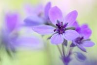 Erodium : Flore, becs-de-grue, Erodium, Prairie