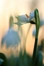 Nivéole de printemps : Flore, Nivéole de printemps, Leucojum vernum