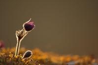 Anémone pulsatille : Flore, Anémone pulsatille, Pulsatilla vulgaris, Prairie calcaire