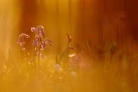 Jacinthes des bois : Flore, Jacinthes des bois, Hyacinthoides non-scripta, Hetraie, Bois de Hal