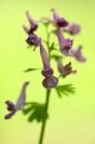 _06W9419 : Flore, Corydale, Corydale à bulbe plein