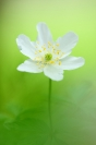 Anémone sylvie : Flore, Anémone sylvie, Anémone des bois, Anemone nemorosa, bois feuillus frais