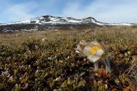 Anémone de printemps : Flore, Anémone de printemps, Pulsatille de printemps, Prairie alpine, Norvège