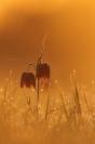 Fritillaire pintade : Fritillaria meleagris, Fritillaire pintade, Plante prairie humide, Basses Vallées Angevines
