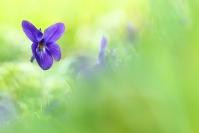 Violette : Violette, Fleur printemps, Forêt, Prairie