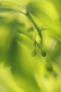 Sceau de Salomon : Polygonatum sp. Sceau de Salomon, Plante forêt, Plante printemps
