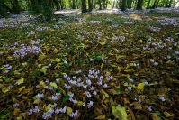 Sous-bois de cyclamen : Cyclamen sauvage, Cyclamen, Primulacées, plante automne, Plante forestière, Forêt, Automne