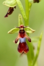 Ophrys mouche : Flore, Orchidée, Ophrys mouche, Ophrys insectifera, Prairie calcaire