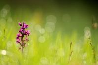 orchis mâle : Flore, Orchidée, Orchis mâle, Orchis mascula