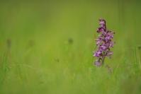 Orchis bouffon : Flore, Orchidée, Orchis bouffon, Orchis morio
