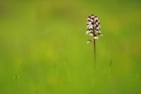 Orchis pourpre : Flore, Orchidée, Orchis pourpre, Orchis purpurea, Prairie calcaire