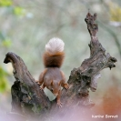 Ecureuil Roux : Ecureuil roux