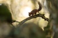 Ecureuil roux - stage hiver : Ecureuil roux - stage hiver