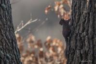 F. Tere : Ecureuil roux