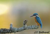 JY Bothorel : Martin pêcheur