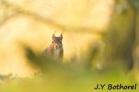 JY Bothorel : Ecureuil roux