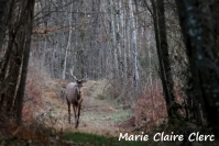 Marie Claire Clerc : Cerf