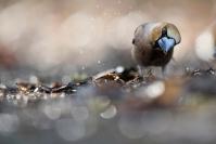 Grosbec casse noyaux - stage hiver : grosbec casse noyaux - stage hiver