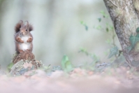 Ecureuil roux - Toute l'année : Ecureuil roux - Toute l'année