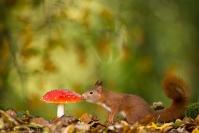 Ecureuil roux - Automne :