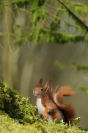 C. Salin Hiver 2013 Ecureuil roux :