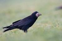 C. Salin Printemps 2012 Corbeaux freux :