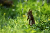 Ecureuil roux dans ficaires - Printemps : Ecureuil roux dans ficaires, Stage Mammifères, Printemps