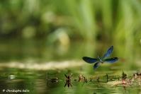 Caleopteryx, stage juillet : Caleopteryx, stage juillet