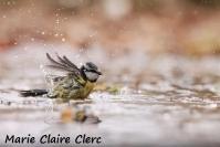 Marie Claire Clerc : Mésange bleue