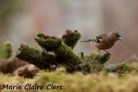 Marie Claire Clerc : Pinson des arbres