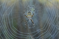 Araignée argiope : Arachnide, Argiope, Prairie