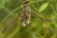 Notonecte : Insecte, Hétéroptère, Notonecte, Mare, Etang
