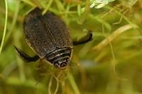 Dytique : Insecte, Coléoptère, Dytique, Mare, Etang