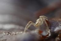 Araignee : Faune du sol, Faune de la litière forestière, Pédofaune, Arthropode du sol, Invertébrés du sol, Araignée, Araignée du sol, Soil fauna, Invertebrate soil, Spider