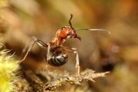 Fourmis des bois : Insecte, Hyménoptère, Fourmis, Bois, Jura