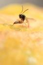 Hyménoptère parasitoide de puceron : Insecte, Hyménoptère, Guêpe, Parasitoide, Aphidius, Puceron, Lutte biologique