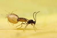 Emergence Hyménoptère parasitoide : Insecte, Hyménoptère, Guêpe, Parasitoide, Aphidius, Emergence, Puceron, Lutte biologique