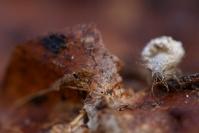 Chrysope larve : Faune du sol, Faune de la litière forestière, Pédofaune, Arthropode du sol, Invertébrés du sol, Chrysope, Chrysope larve, Soil fauna, Invertebrate soil, Lacewing