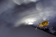 Colembole : Faune du sol, Faune de la litière forestière, Pédofaune, Arthropode du sol, Invertébrés du sol, Collembole, Soil fauna, Invertebrate soil, Collembola