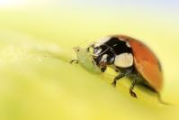 Coccinelle : Insecte, Coléoptère, Coccinelle, Prédateur, Puceron, Lutte biologique