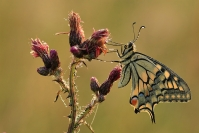 Papillon machaon : Insecte, Lépidoptère, Papillon, Machaon, Prairie